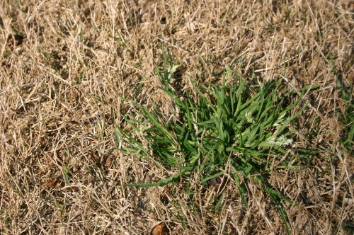 Lawn – Timing Pre-emergent Herbicide   Walter Reeves: The Georgia Gardener