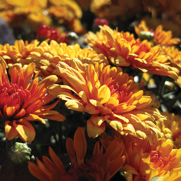 Favorite Fall Flowers