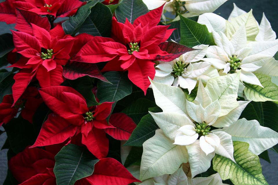 The Care and Keeping of Poinsettias