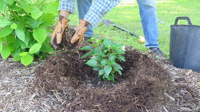 Caring for Shrubs
